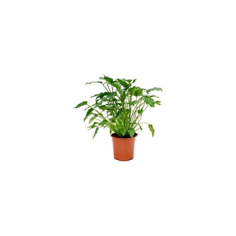 Philodendron xanadu 19x60 cm