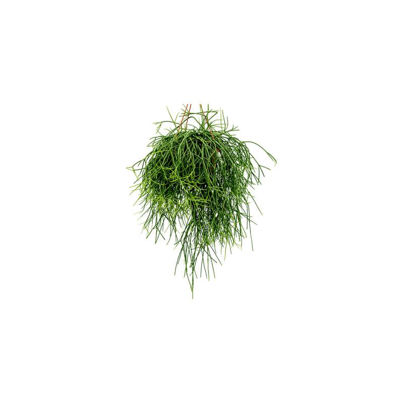 Rhipsalis horrida hanger pots.17 cm v.25cm
