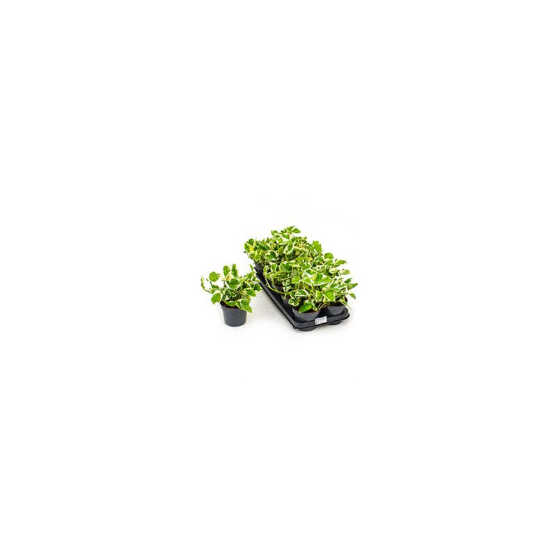 Scindapsus n´joy 10tray hanger pot.12cmv. 15 cm