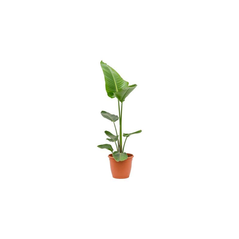 Strelitzia nicolai 1PP 24x100 cm