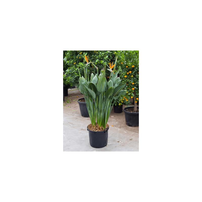 Strelitzia Reginae tuft with flower 34x130 cm