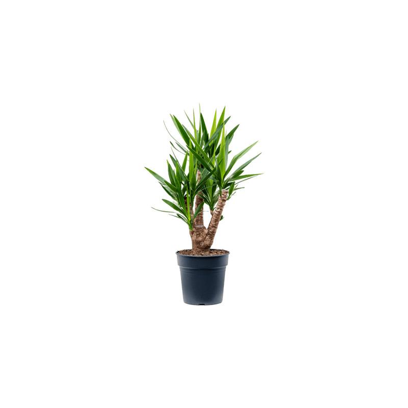 Yucca elephantipes branched pots. 27x110 cm