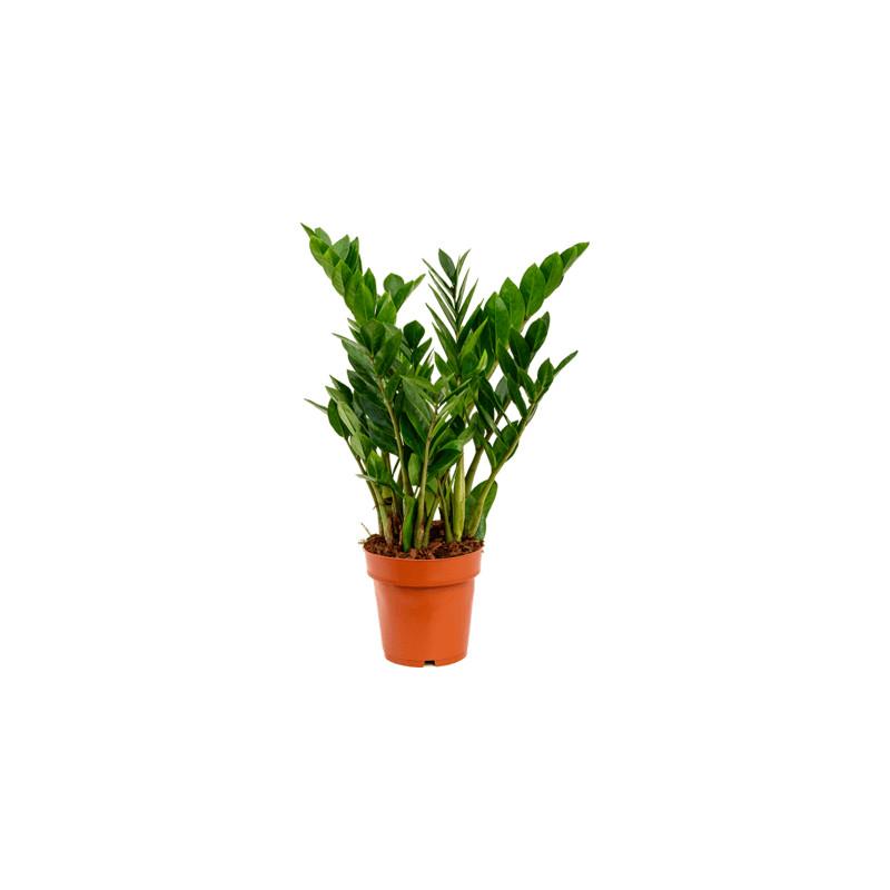Zamioculcas zamiifolia 6tray tuft pots.17cm v. 65 cm
