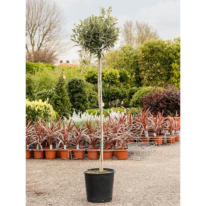 Olivovník Olea europaea Stem (45) 24x140 cm