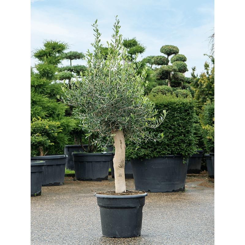 Olivovník Olea europaea Stem (50) 45x145 cm