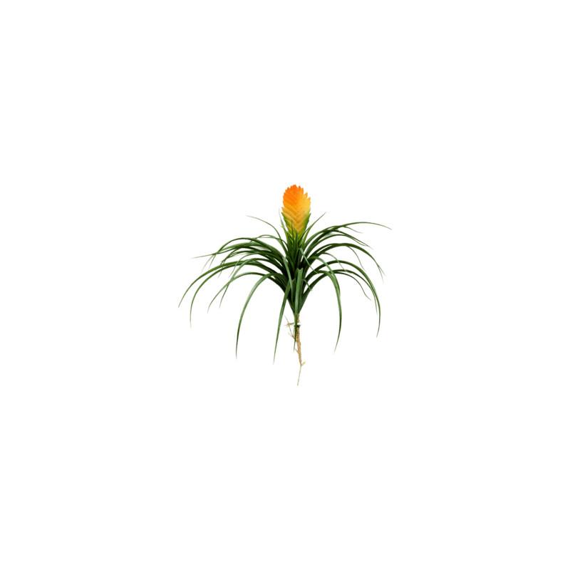 Bromelia vriesia Large 30 cm