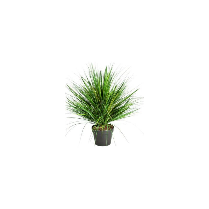 Grass onion 50cm