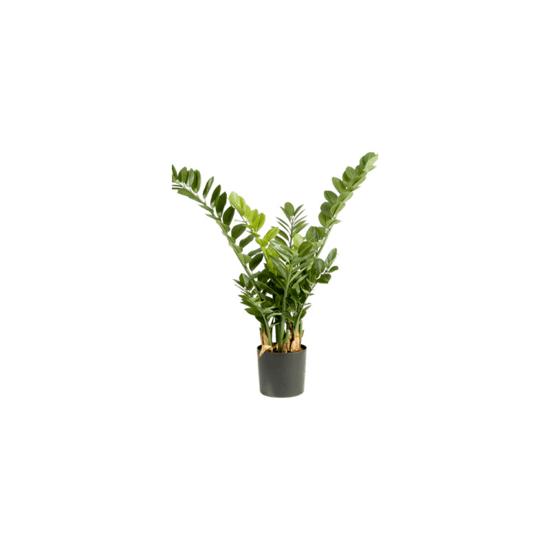 Zamioculcas smaragd Tuft 90 cm