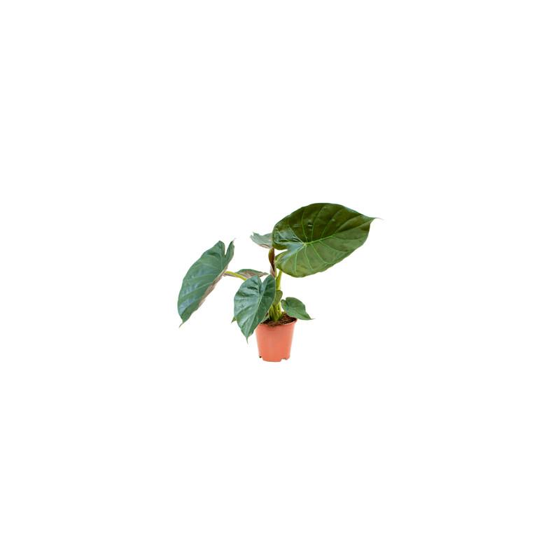 Alocasia wentii 19x65 cm