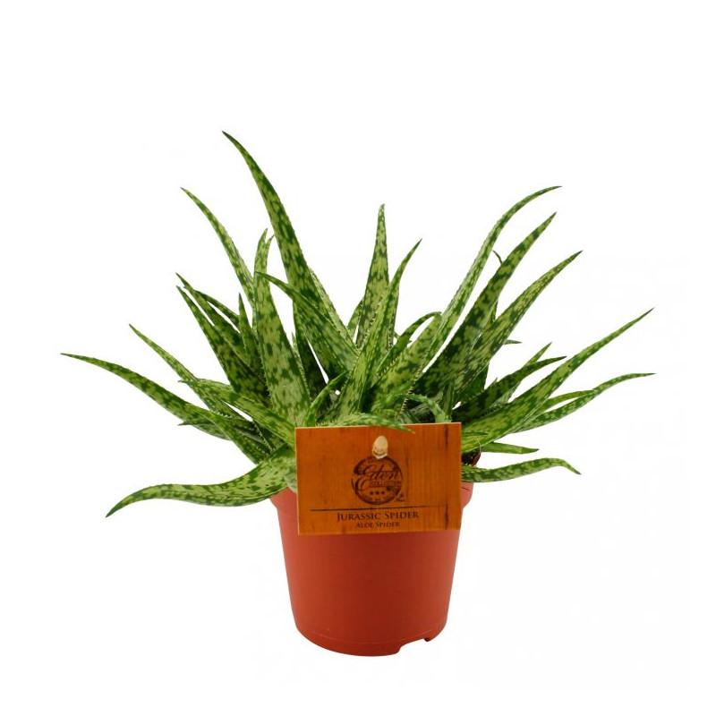 Aloe jurassic spider