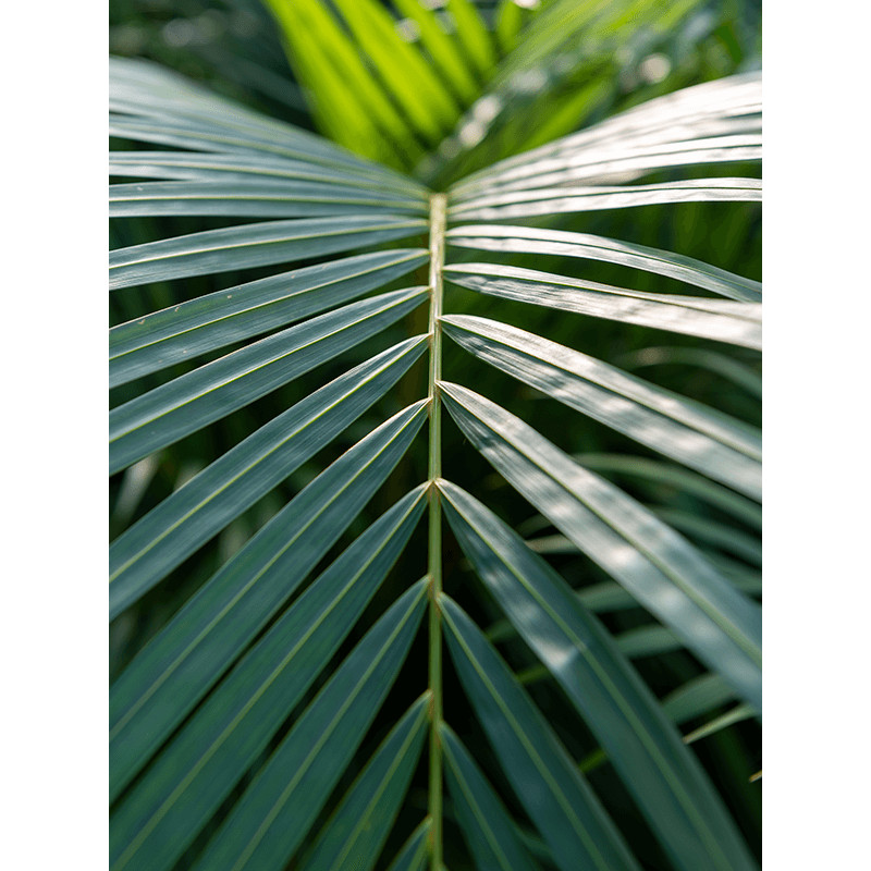 Areca (Dypsis) lutescens 24x140 cm