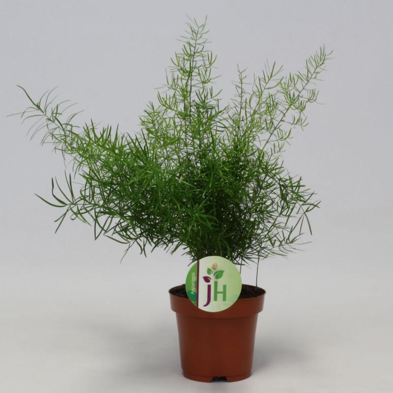 Asparagus densiflorus 'Sprengeri'
