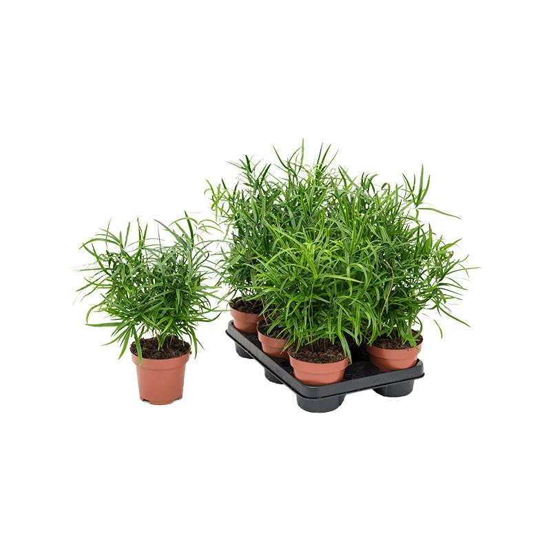 Asparagus falcatus 12x35 cm