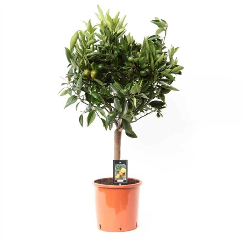 Citrus reticulata Clementine mandarin 22x85 cm