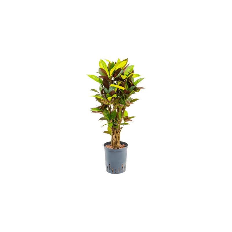 Kroton - Croton (codiaeum) variegatum Mr. Iceton branched 18/19 cm výška 80 cm