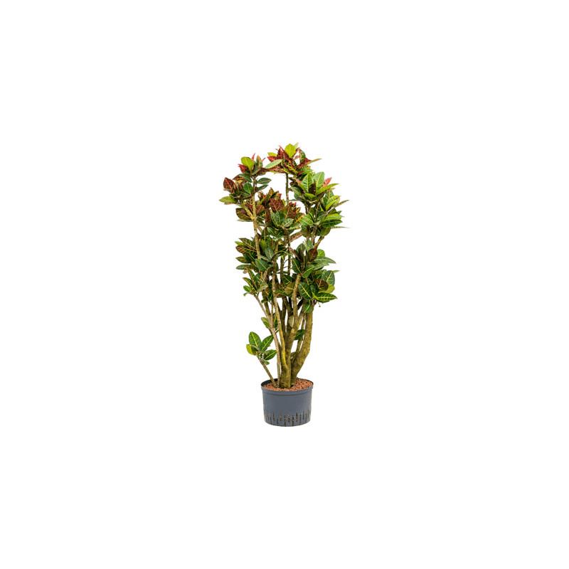 Kroton - Croton (Codiaeum) variegatum Petra branched 28/19 výška 160 cm
