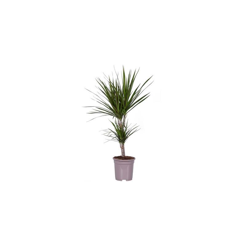 Dracaena marginata 17x75 cm