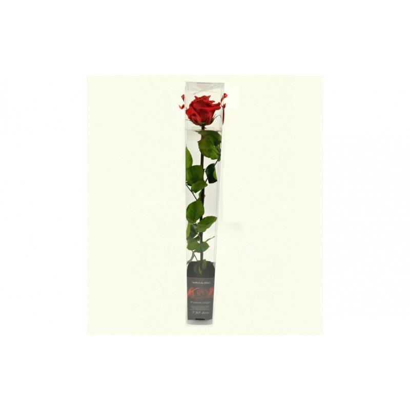 Dračeková ruža (stabilizovaná) červená 55 cm