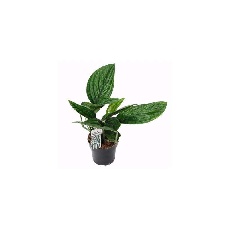 Epipremnum pinnatum marble planet 12x30 cm
