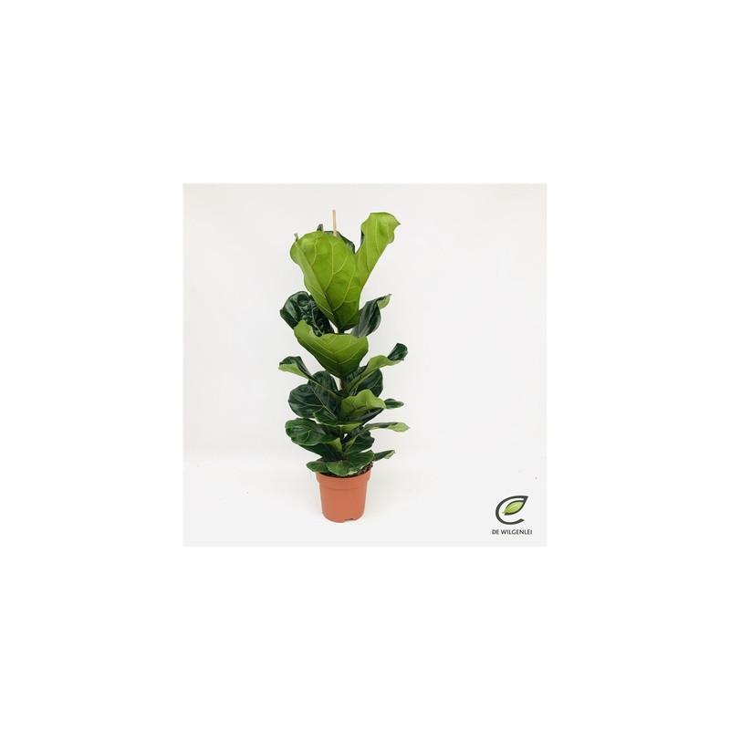 Ficus lyrata 21x110cm