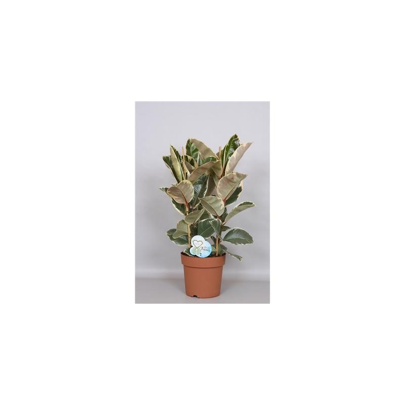Ficus elastica Tineke 24x75 cm