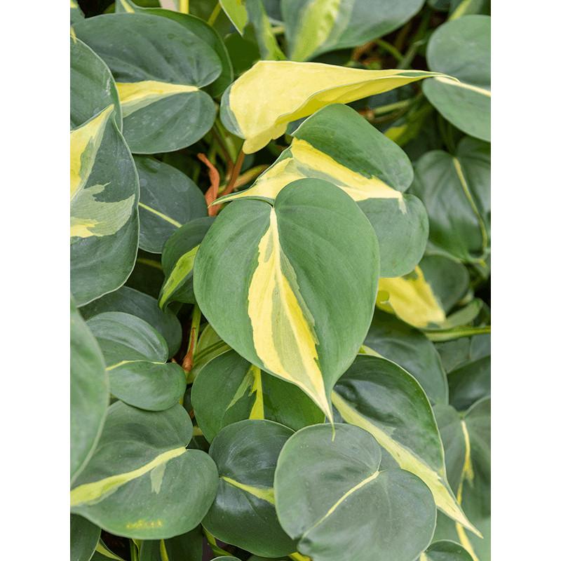 Philodendron grand brasil Hanger pots. 13/12 výška 20 cm