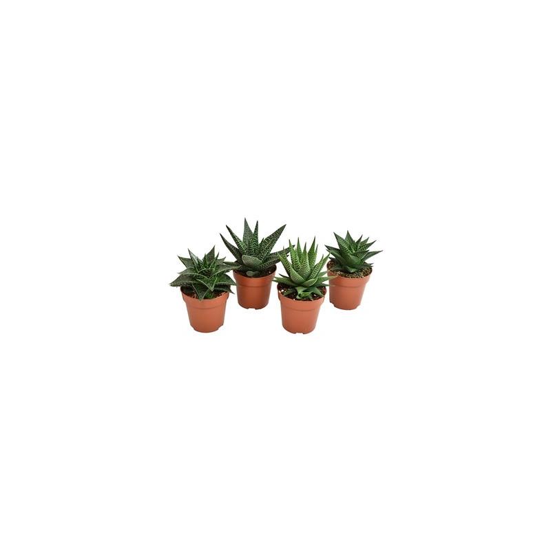 Haworthia mix 8,5x13 cm