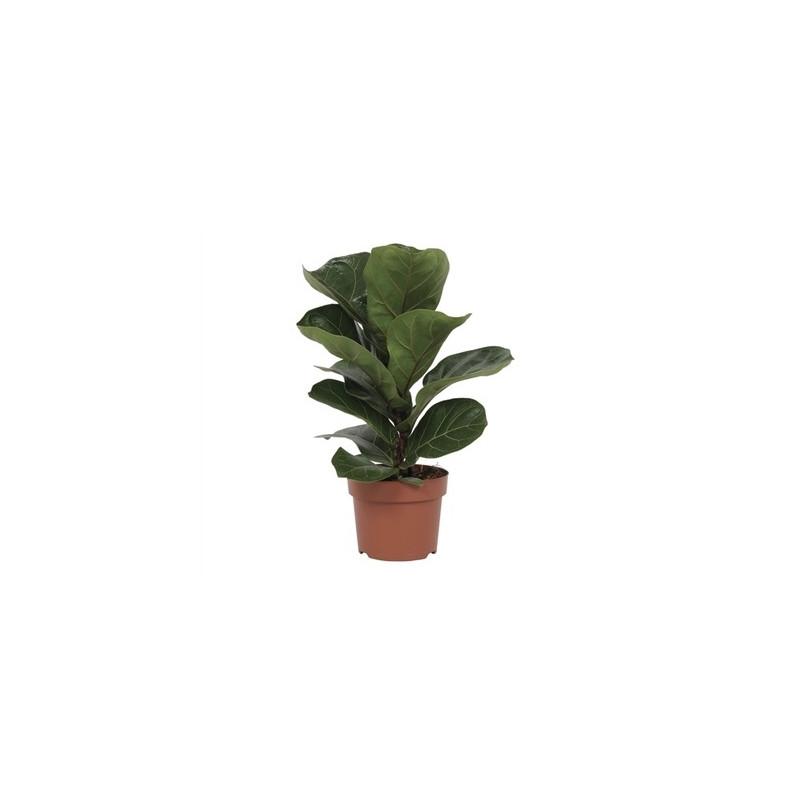 Ficus lyrata bambino 12x35 cm