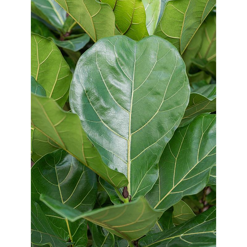 Ficus lyrata 21x55 cm