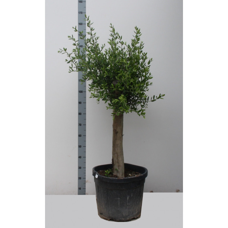 Olivovník Olea europaea Stem 46x150 cm