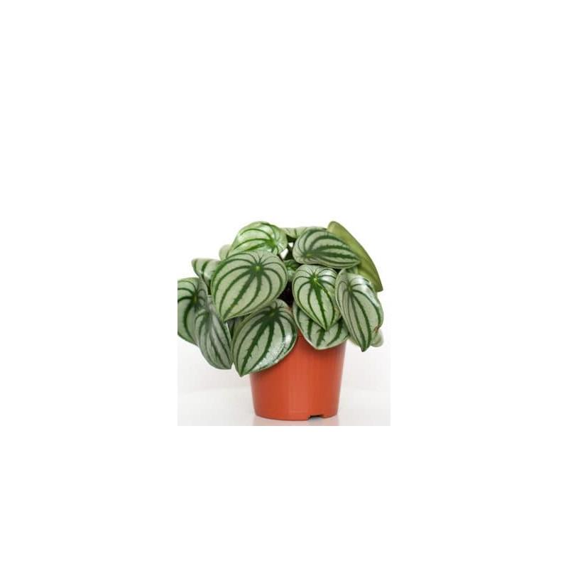 Peperomia argyreia 12x20 cm