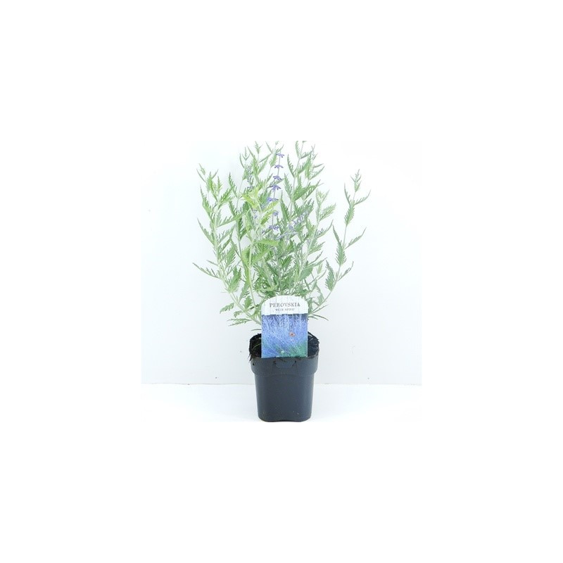 Perovskia Blue spire 17x25 cm