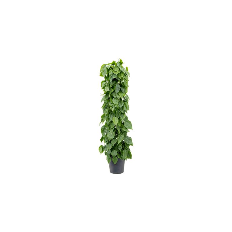 Philodendron scandens Column stĺp 30x160 cm