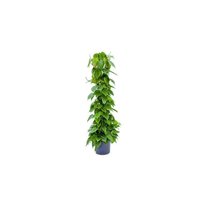 Philodendron scandens Column Pots. 26 cm v.130 cm