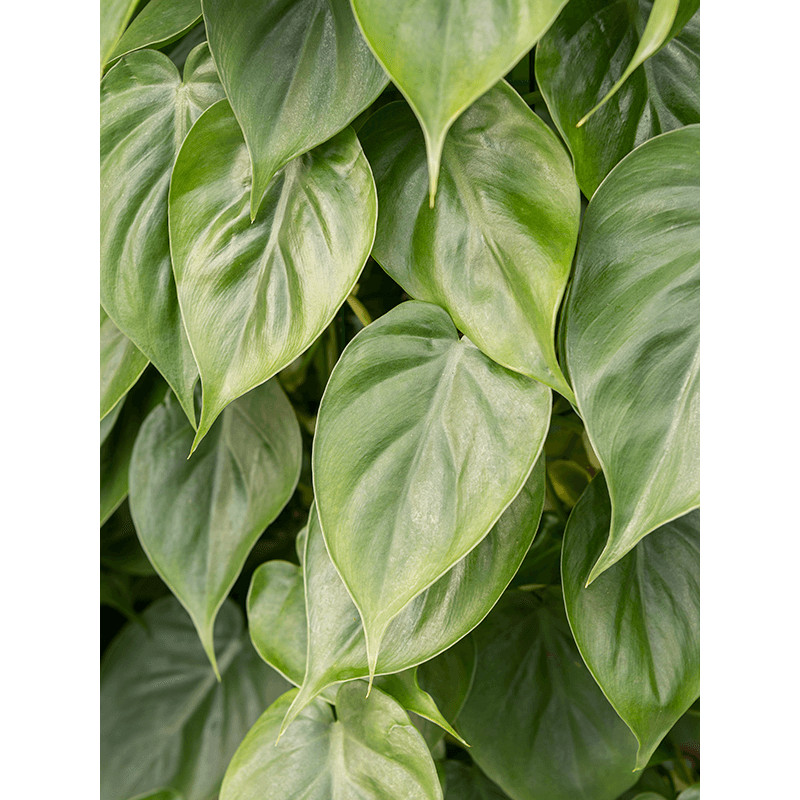 Philodendron scandens 10/tray pots 12 cm