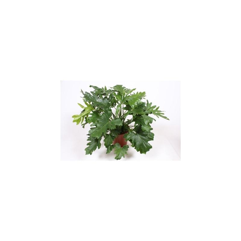 Philodendron selloum Cum Laude 30x100 cm