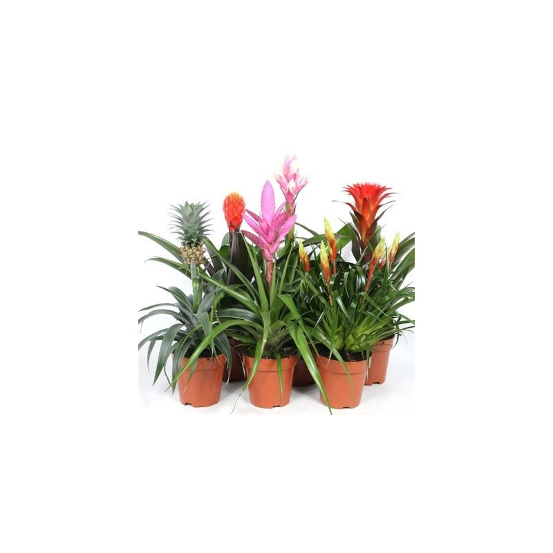 Bromelia royal 12x45 cm