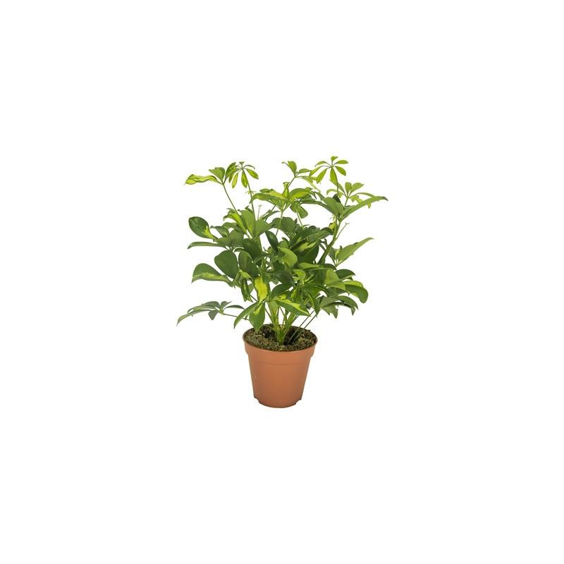 Schefflera arboricola Gerda 21x50 cm
