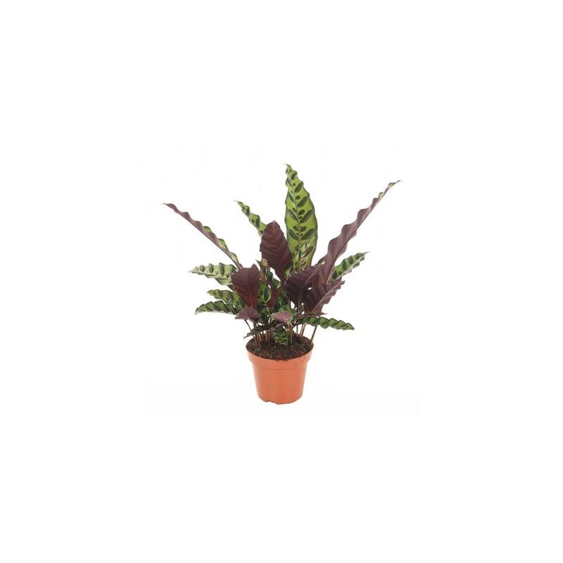 Calathea lancifolia 14/45 cm