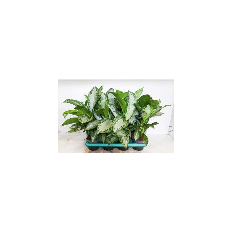 Aglaonema silver queen 14x45 cm