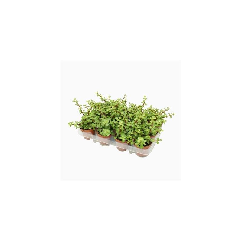 Portulacaria afra green 8,5x10 cm