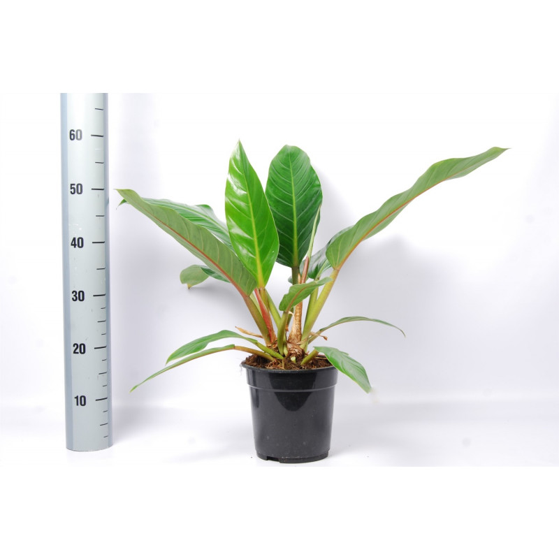 Philodendron Fatboy Yellow 19x55 cm
