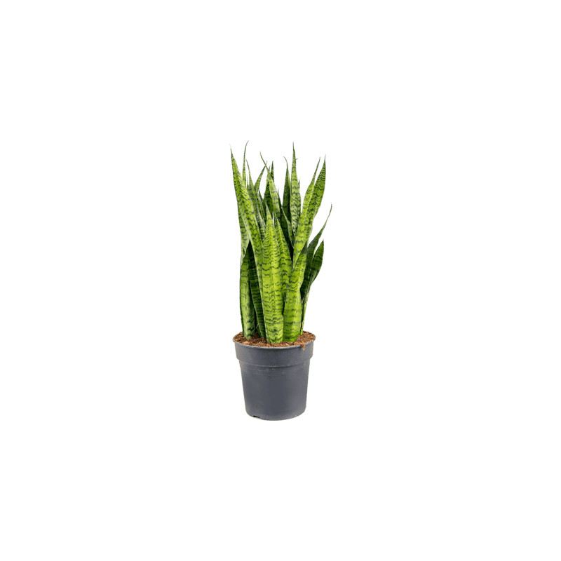 Sansevieria zeylanica tuft pots 30x80 cm