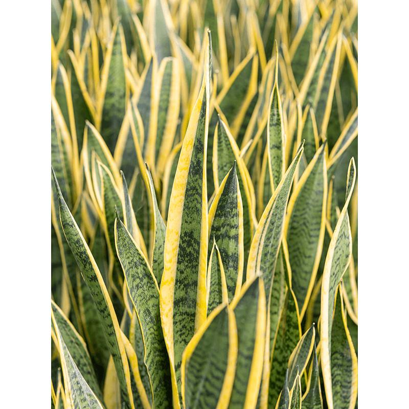 Sansevieria laurentii Tuft Pots. 31 cm v.80 cm