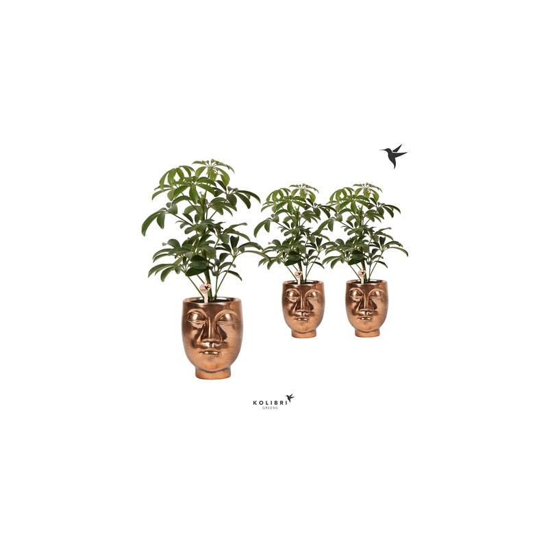 Schefflera arb. Luseana v zlatom kvetináči Kolibri face - tvár 9x30 cm