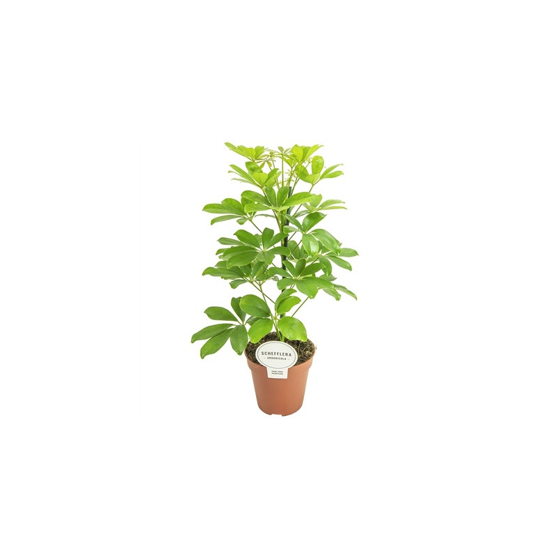 Schefflera arboricola nora 13x45 cm