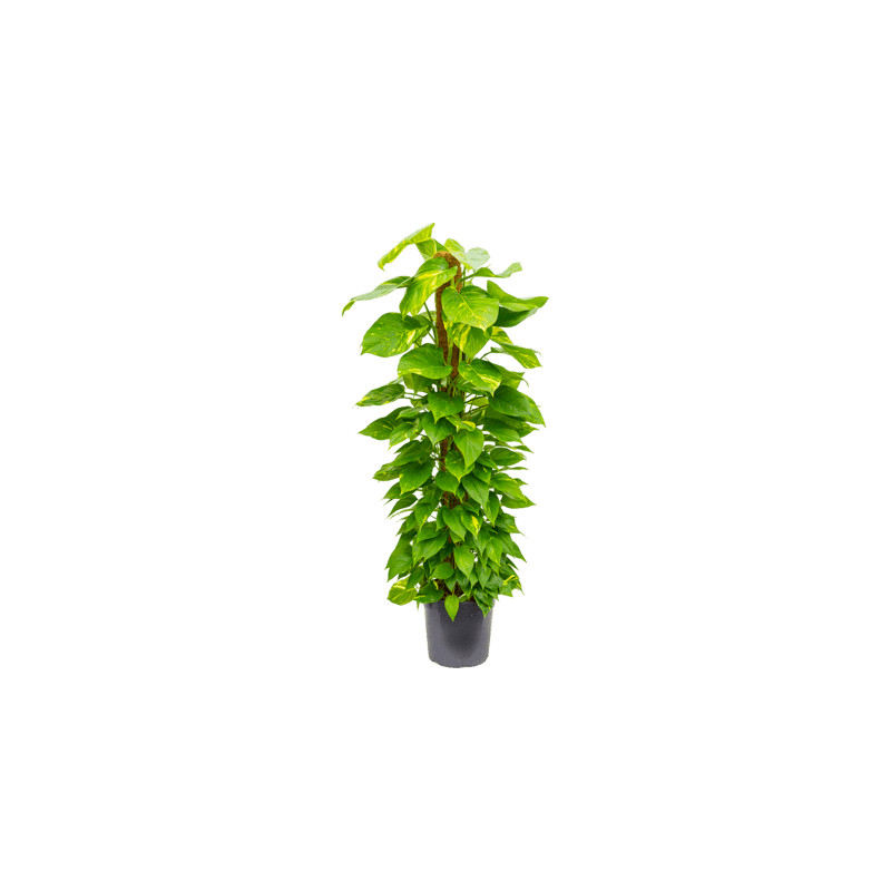 Scindapsus (Epipremnum) pinn. on moss-pole stlp 30x155 cm