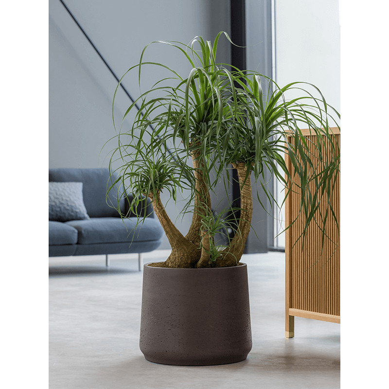Beaucarnea recurvata branched 26/75 cm