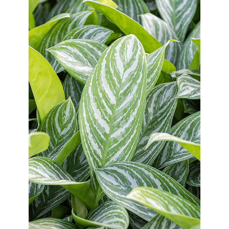 Aglaonema stripes Tuft  18/19cm v. 65 cm