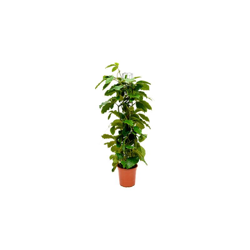 Tetrastigma voinierianum columm pots.24/120 cm